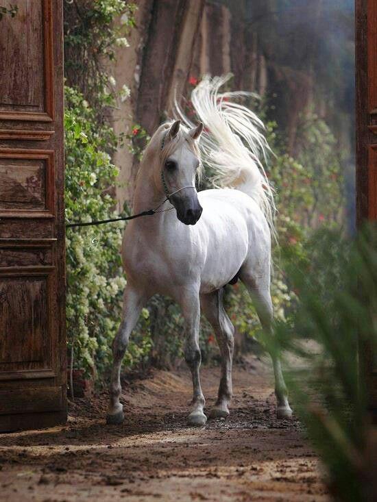 An Arabian