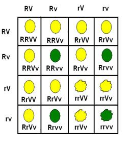 Do cruzamento de ervilhas com características puras, em homozigose dominante e recessiva respectivamente para a cor da semente (amarela e verde) e para a textura da semente (lisa e rugosa), temos a seguinte representação para a geração parental e seus gametas:   RRVV (semente lisa e amarela) x rrvv (semente rugosa e verde)  Gameta → RV Gameta → rv.