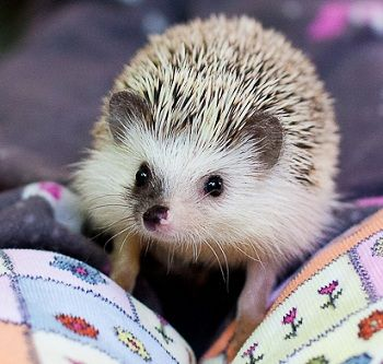 Alias - Our Herd | West Coast Hedgehogs
