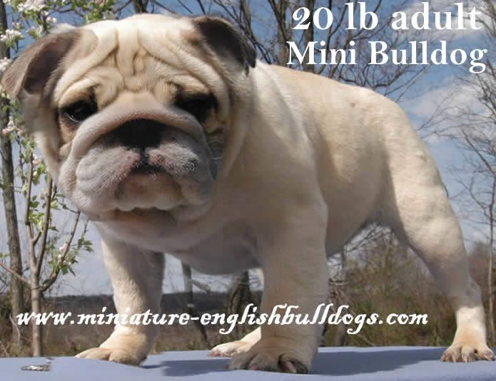 Shrink-a-Bulls:  could they be any cuter ... mini bulldogs.  If I had the money, I'd get one tomorrow.
