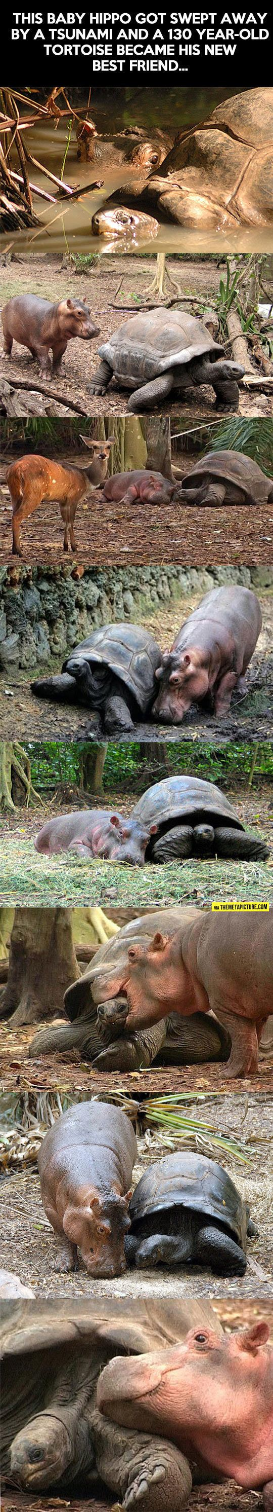 Baby Hippo And Old Tortoise - The Meta Picture