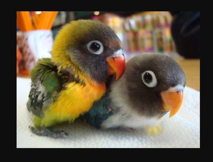 Unduh 44  Gambar Burung Lovebird Anak HD