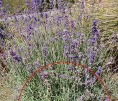Lavendel zurückschneiden
