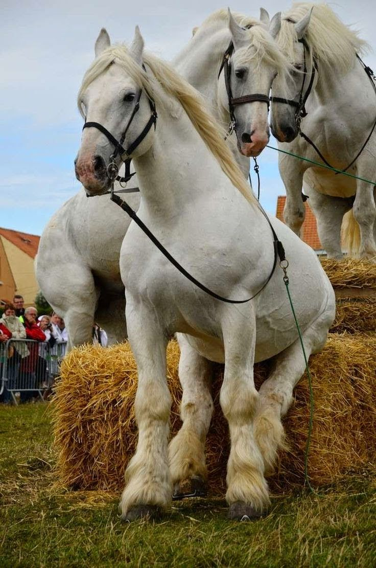 "Draft horse. ""Just need a short break. Whew"
