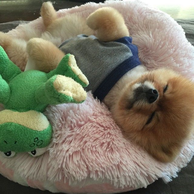 'Snoozing with my Frog' - Jiff the Cute Pomeranian Dog
