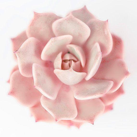 Artículos similares a Rosey rosa fotografía suculenta, jardín, Echeveria, Foto de naturaleza suroeste, arte de vivir habitación, vivero, sol sala arte fotografía impresión pared en Etsy