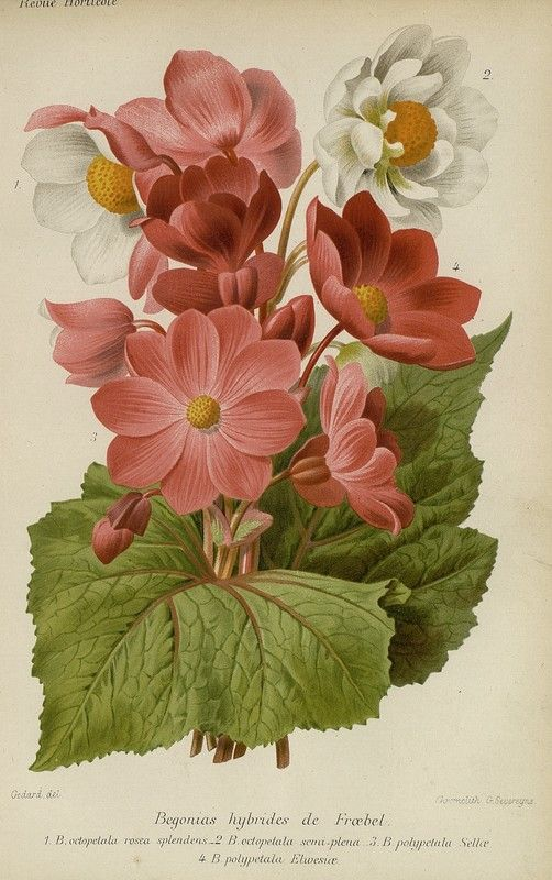 SNHF | Begonias hybrides de Froebel