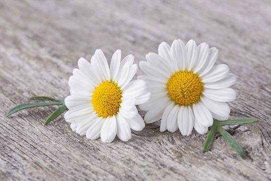 Daisy love. . . . . . .