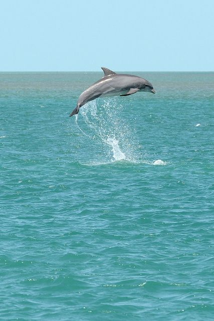 FREEDOM AND LIFE FOR THEM!! bottlenose dolphin