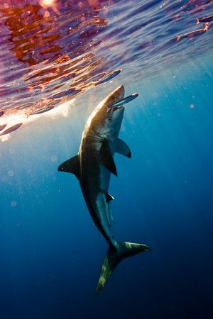 So beautiful!!Water, Great White Sharks, Sharks Weeks, Michael Muller, The Ocean, Sea, Sharkweek, Beautiful Creatures, Animal