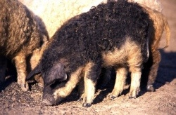 Mangalica breed developed in the middle of the 19th century when Hungarian lard pigs were crossed with the Serbian Sumadia pig. Due to these crossings, the Mangalica pig was bred in several color varieties after a few decades: Black, Swallow-bellied, Blond and Agouti (wild). The Blond variety was the most common, competent equally on family farms, lords' estates and large-scale state farms.    Mangalica easily adapts to extensive rearing conditions and has good herding instinct.