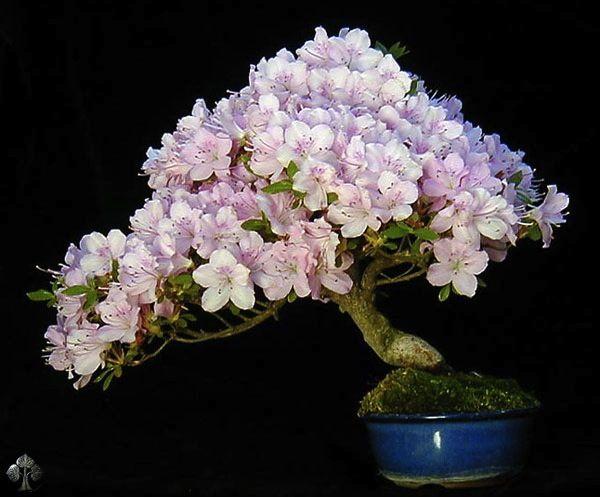 Cet arbre est une sorte d'Azalée et mesure seulement 14 cm de haut. La photo est prise au tout début du printemps, au moment où les Azalées fleurissent (peu longtemps, mais très intensément!). L'arbre est planté dans un pot japonais. http://www.bonsaiempire.fr/