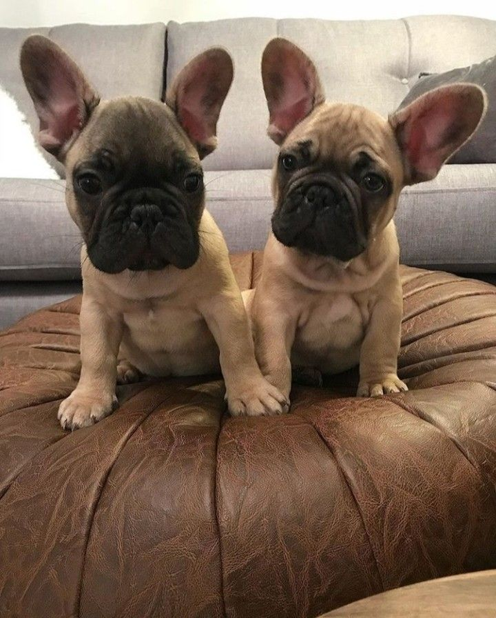 Pin By Sydney Taylor On French Bulldogs In 2020 French Bulldog Puppies Cute Dogs Cute Animals