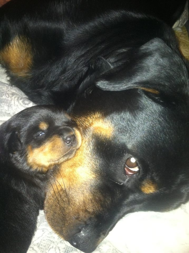 Rotties puppy snuggling with his mommy