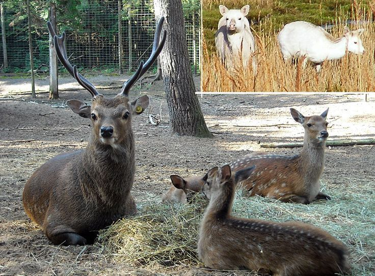 pictures of deer and elks and  mooses   Sika deer, normal and albino