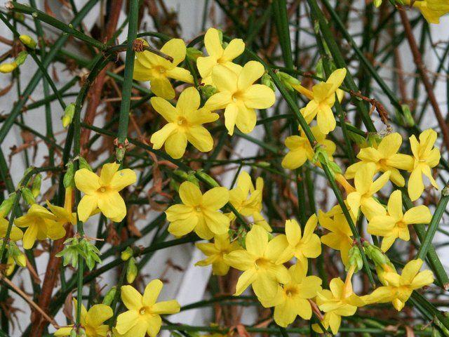 Découvrez et apprenez à cultiver le jasmin d'hiver, un arbuste à la belle floraison jaune en beau milieu de l'hiver.