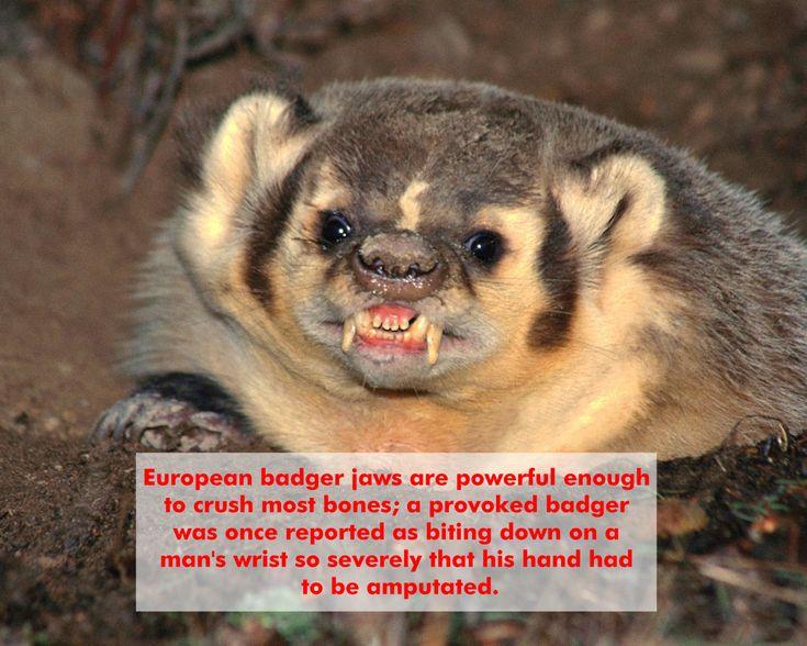 Mejores 14 imágenes de Badgers en Pinterest   Tejón de miel ...