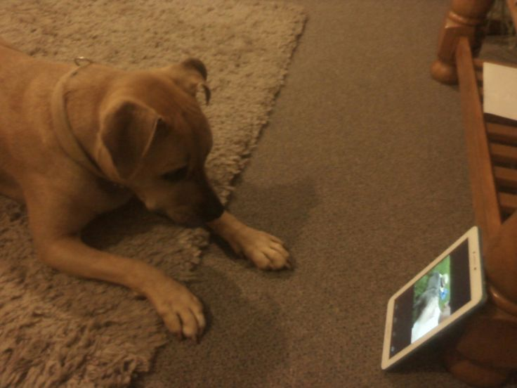 Poppy watching Facebook on the tablet.