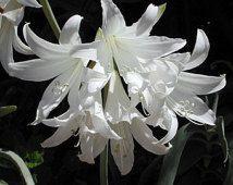 White Amaryllis Belladonna -  Naked Lady - 1 Large Bulb  -  Marde Ross & Company