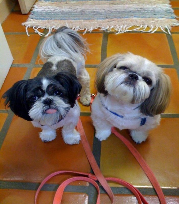shih tzu face haircut 22 best images about shih tzu haircuts on 2911 | 0fbc4ed0cb2663db4d63c280237ef714