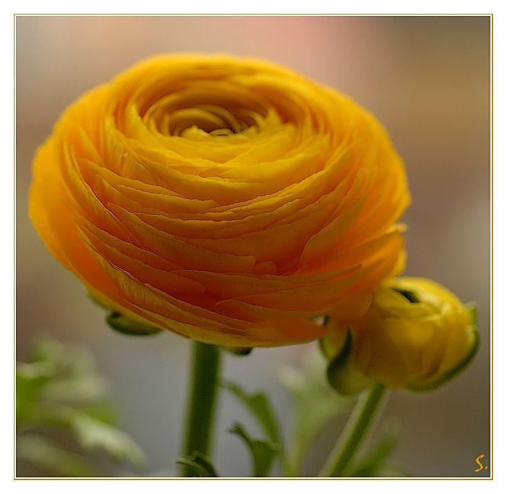 ~~Persian Buttercup   Yellow Ranunculus by grandma-S~~