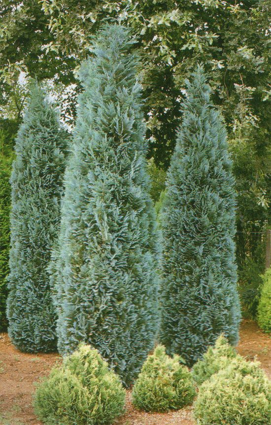 Dwarf Cedar Tree Varieties ~ Best images about conifers for my garden on pinterest