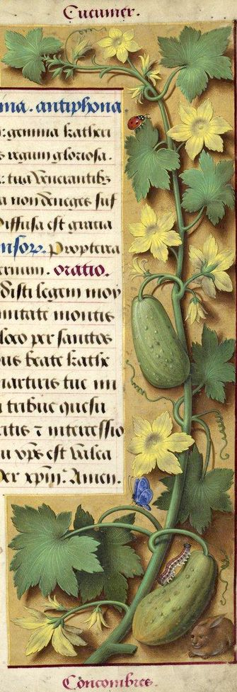 Concombres - Cucumer (Cucumis sativus L. = concombre) -- Grandes Heures d'Anne de Bretagne, BNF, Ms Latin 9474, 1503-1508, f°204r