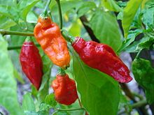 Fresh Bhut Jolokia - Ghost pepper. One of the hottest peppers in the world. Currently #2 hottest. ~~Not quite sure WHY I am growing this??? Gonna have to roast them wayyyyy down to mellow that heat.