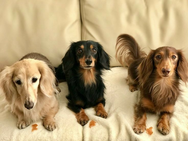 Pin By The Wooden Frog On Miniature Dachshunds Dachshund Puppies