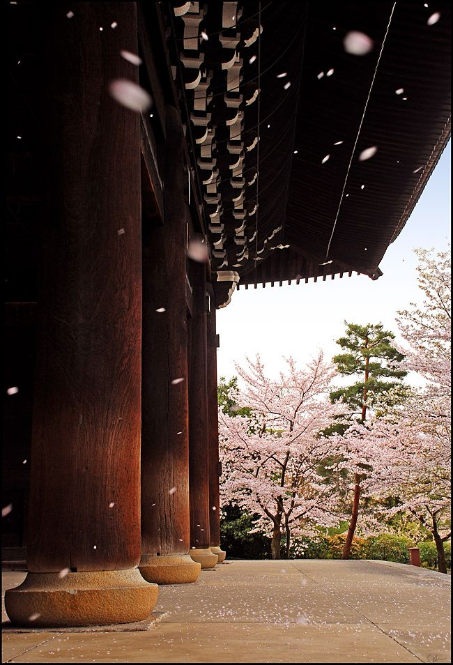 Hanafubuki (sakura cherry blossoms blizzard) /temple gate/Kyoto/Japan/by heeeeman