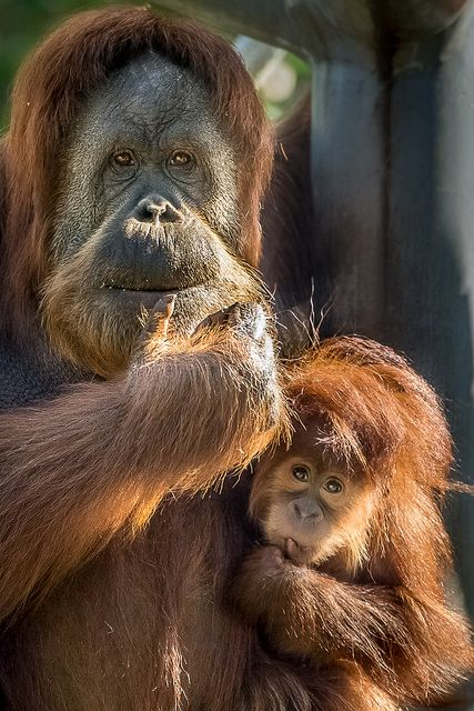Orangutan Mom & Little Girl by Helene Hoffman Orangutan mom Indah and her little girl Aisha enjoy the morning sun. Orangutans, whose nam...