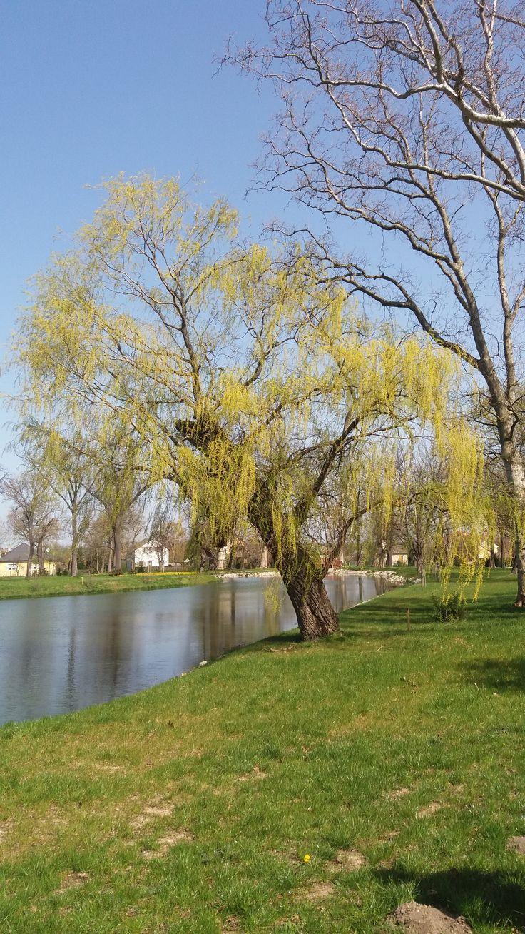 fűzfa a tónál /  willow tree by the lake