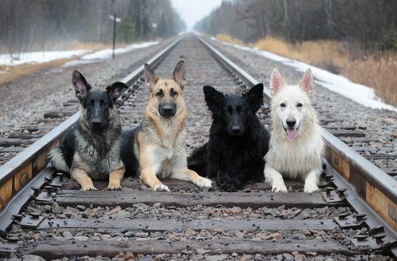 Zayda, Meg, Reba & Brinkley. This is the ultimate family pic!! Love German Shepherds!!