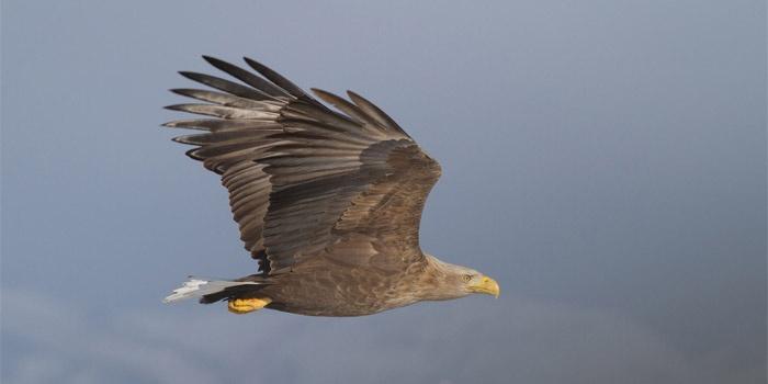Birds of Greece: Sea Eagle