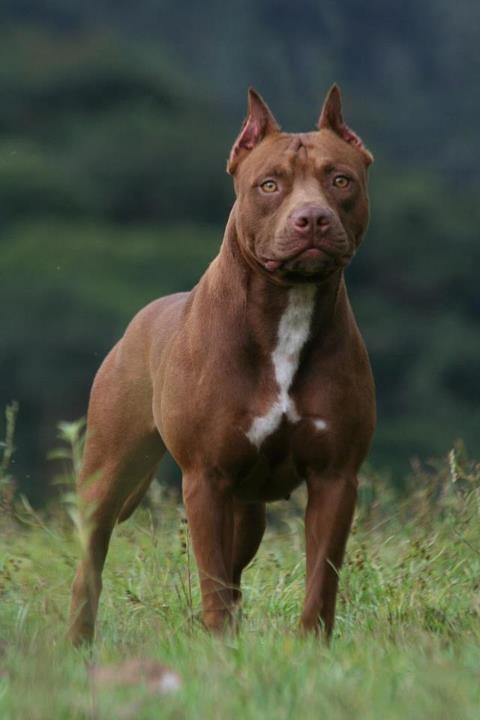 Red Nose American Pitbull