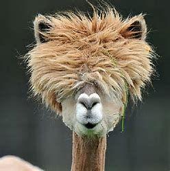 Image result for Shaved alpacas
