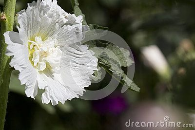 White hollyhock in the yard macro close-up