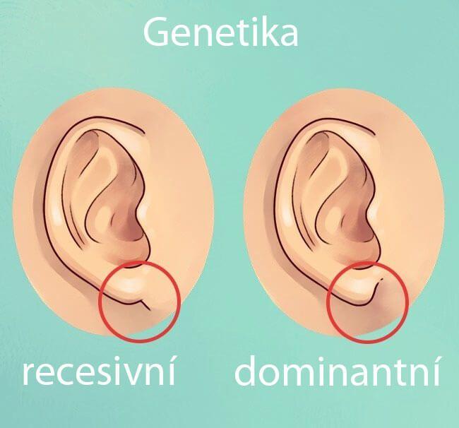 Je známý neurologický výtah, který existuje mezi body na těle a vnitřními orgány. Pozorování uší Vám může pomoci dozvědět se o vašich stávajících hygienických podmínkách a dokonce i předvídat budoucí zdravotní problémy. Nasbírali jsme řadu zajímavých informací o lidském uchu, které vám pomohou lépe pochopit sama sebe a stav vašeho zdraví. Co o nás odhalí …