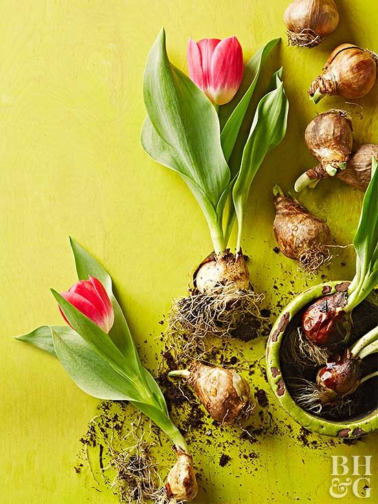 This how-to guide shows you how to force bulbs so that you can enjoy beautiful blooms indoors in those not-so-warm months.