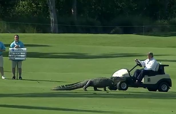 Quand un alligator débarque en plein tournoi de golf