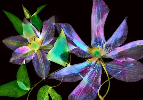 Clematis, Digital Photogram by Harold Davis, All Rights reserved