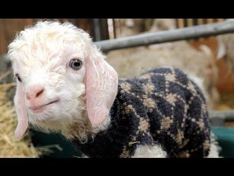 Funny and cute goat videos compilation! i am SO getting a goat! too cute!