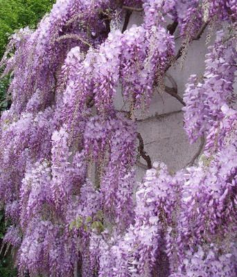 Wisteria Sinensis Seeds, Chinese Wisteria Seeds, Exotic Seeds, Bonsai Seeds
