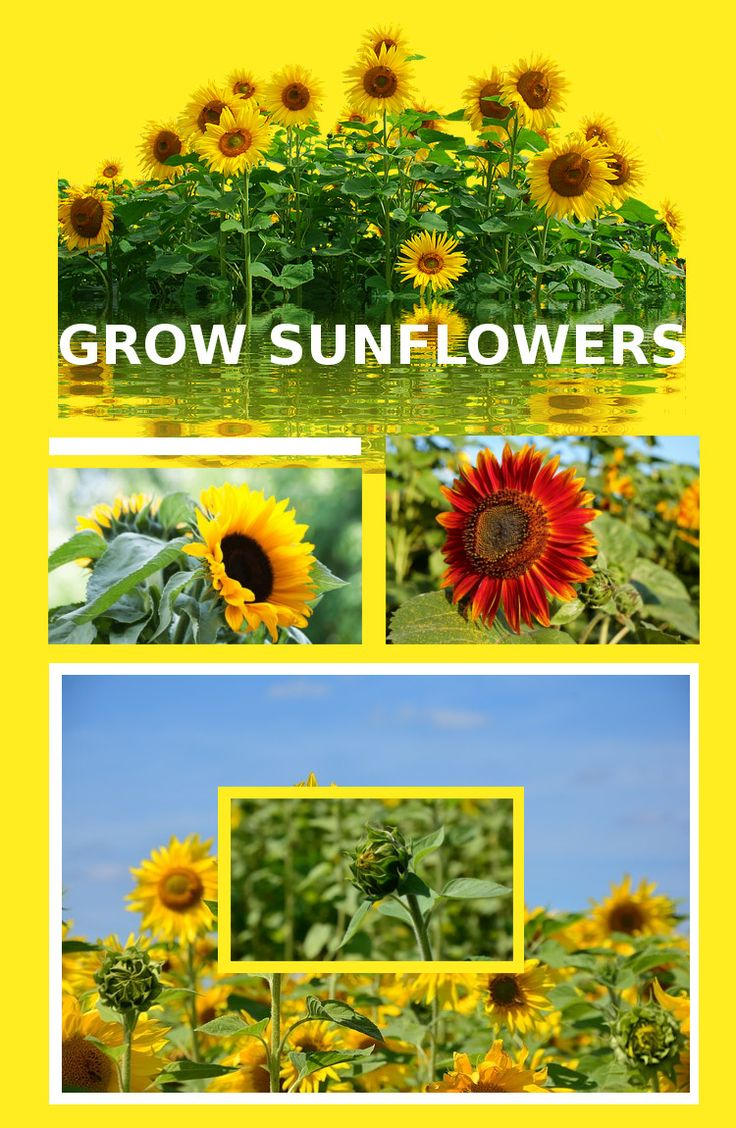 learn how to grow sunflowers in the backyard by clicking through and reading the article on growing sunflowers. #gardening #flowers