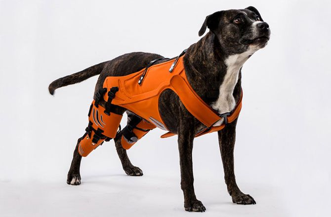 Hip Harness Helps Dogs with Dysplasia : Discovery News. This is what happens when veterinary medicine meets engineering: animals get better. Love it!!