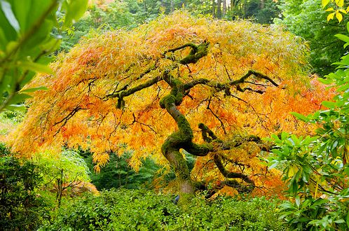 Acer Palmatum Japanese Maple Sap Is Lower In Sugar But