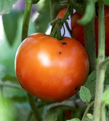 Grow a salsa garden with our fun tips here: http://www.bhg.com/gardening/vegetable/vegetables/grow-a-salsa-garden/?socsrc=bhgpin071814betterboytomato&page=3