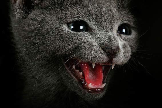 """Das Russisch Blau Kätzchen """"zeigt Zähne"""""""