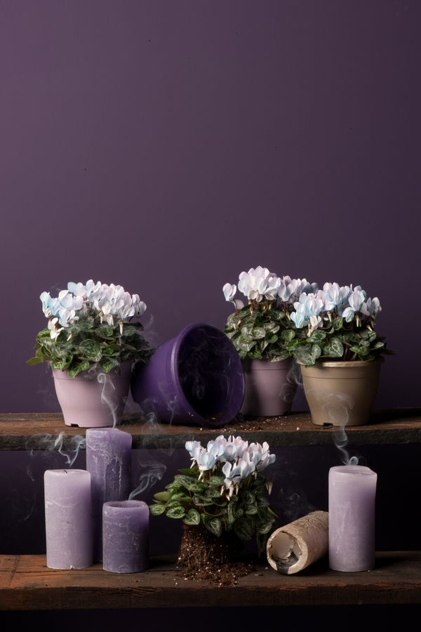 Make-Upz cyclamen by Uniq-Plants