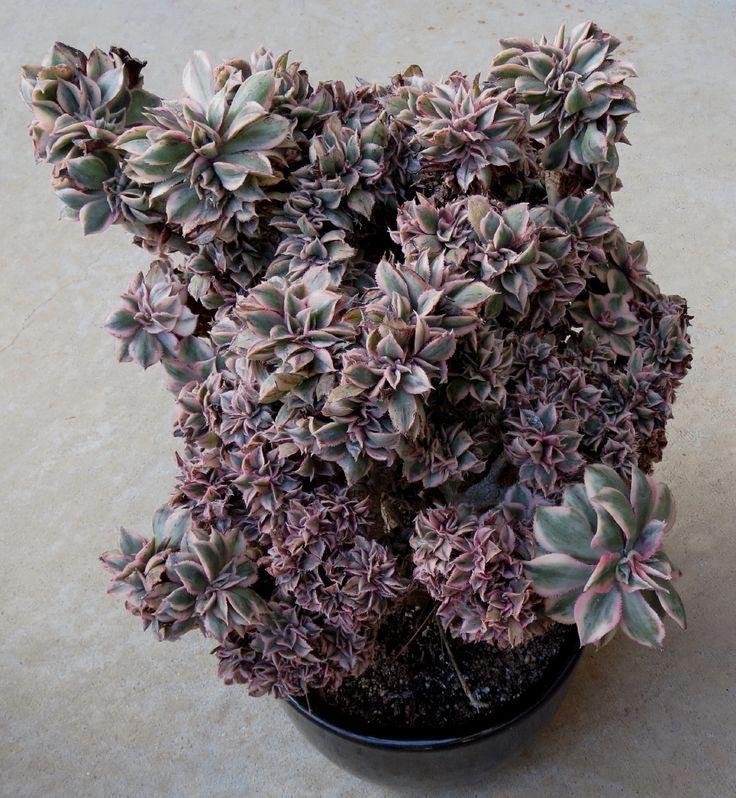 Aeonium 'Sunburst' f. crested